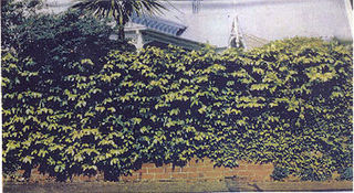 Ivy Brick Wall (6m x 4m) [n   lp]