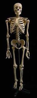 Skeleton Medical Large With Stand (H175cm)