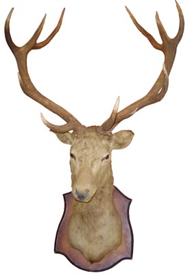 Stags Head Mounted (H150cm x W110cm x D80cm)