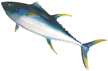 Mounted Yellow Fin Tuna Fish (H50cm x L135cm x W15cm)